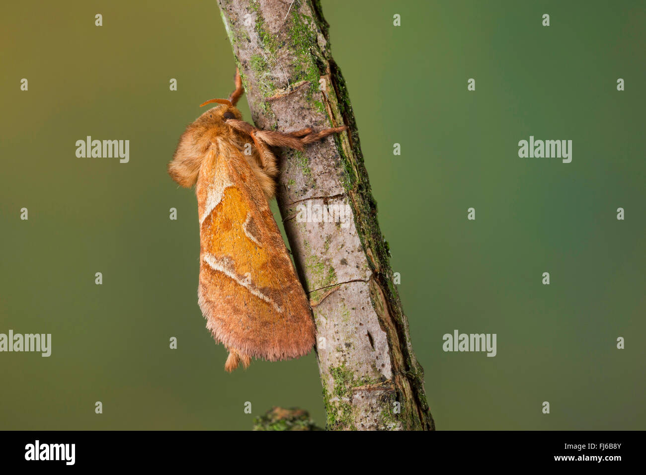 Orange Swift (Triodia sylvina, Triodia reducta, Triodia pallida), on wood, Germany Stock Photo