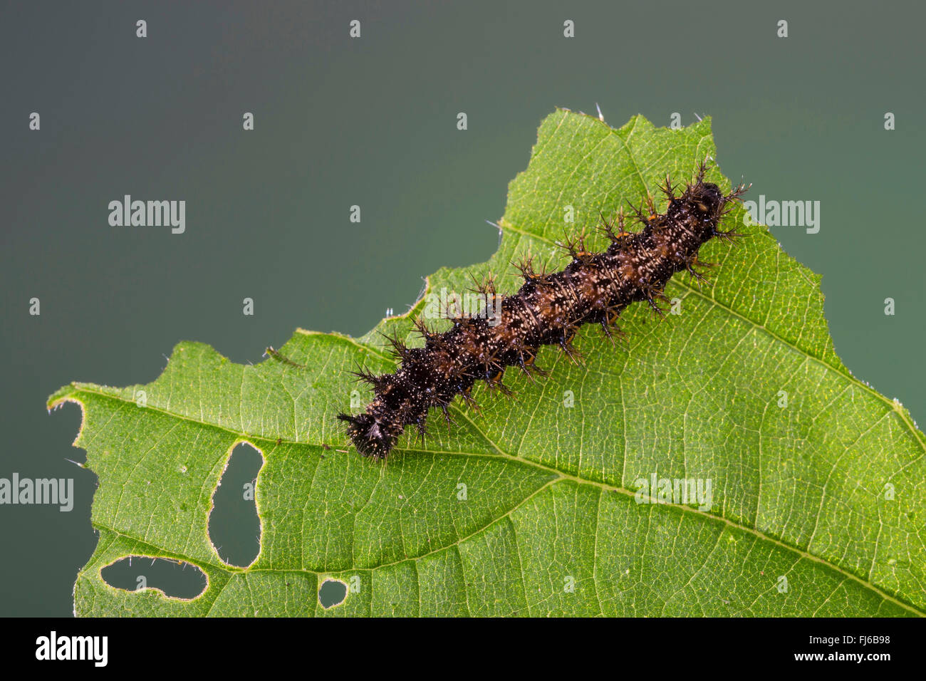 map butterfly (Araschnia levana), caterpillar on a nettle leaf, Germany - Stock Image