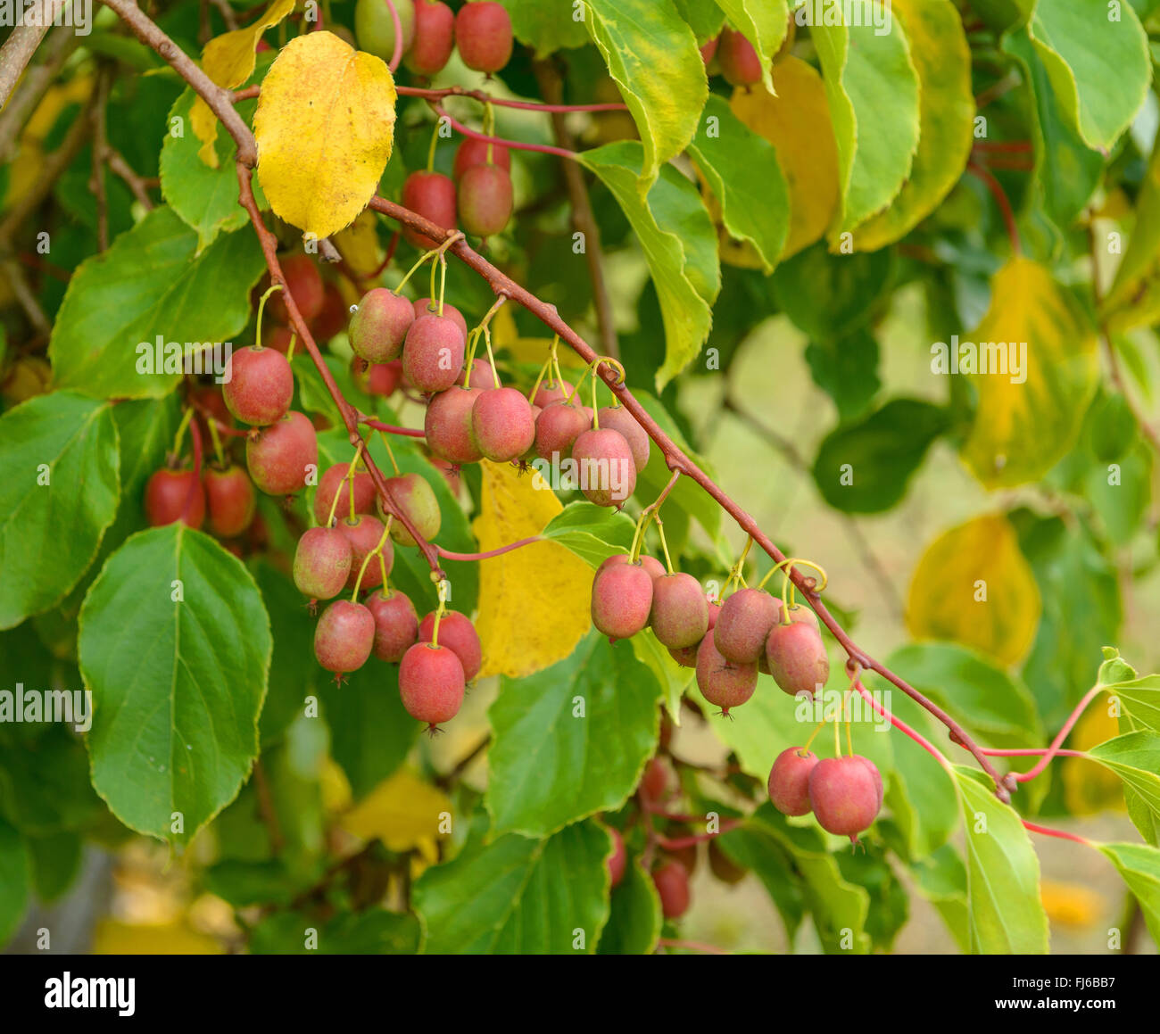 Tara Vine, Bower Actinidia, Mini Kiwi (Actinidia arguta 'Weiki', Actinidia arguta Weiki), cultivar Weiki, - Stock Image