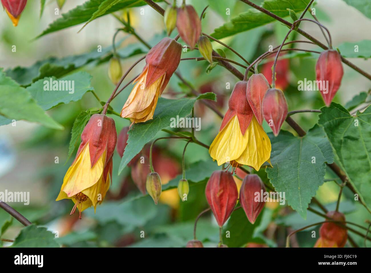 Trailing Abutilon Abutilon Megapotamicum Flowers United Kingdom