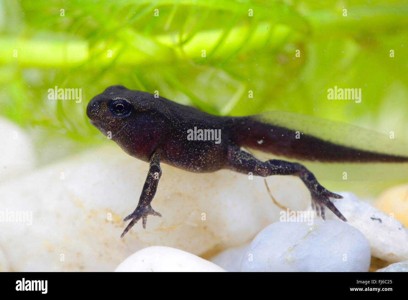 European common toad (Bufo bufo), fully developed polliwog, under water photo, Germany, Bavaria - Stock Image