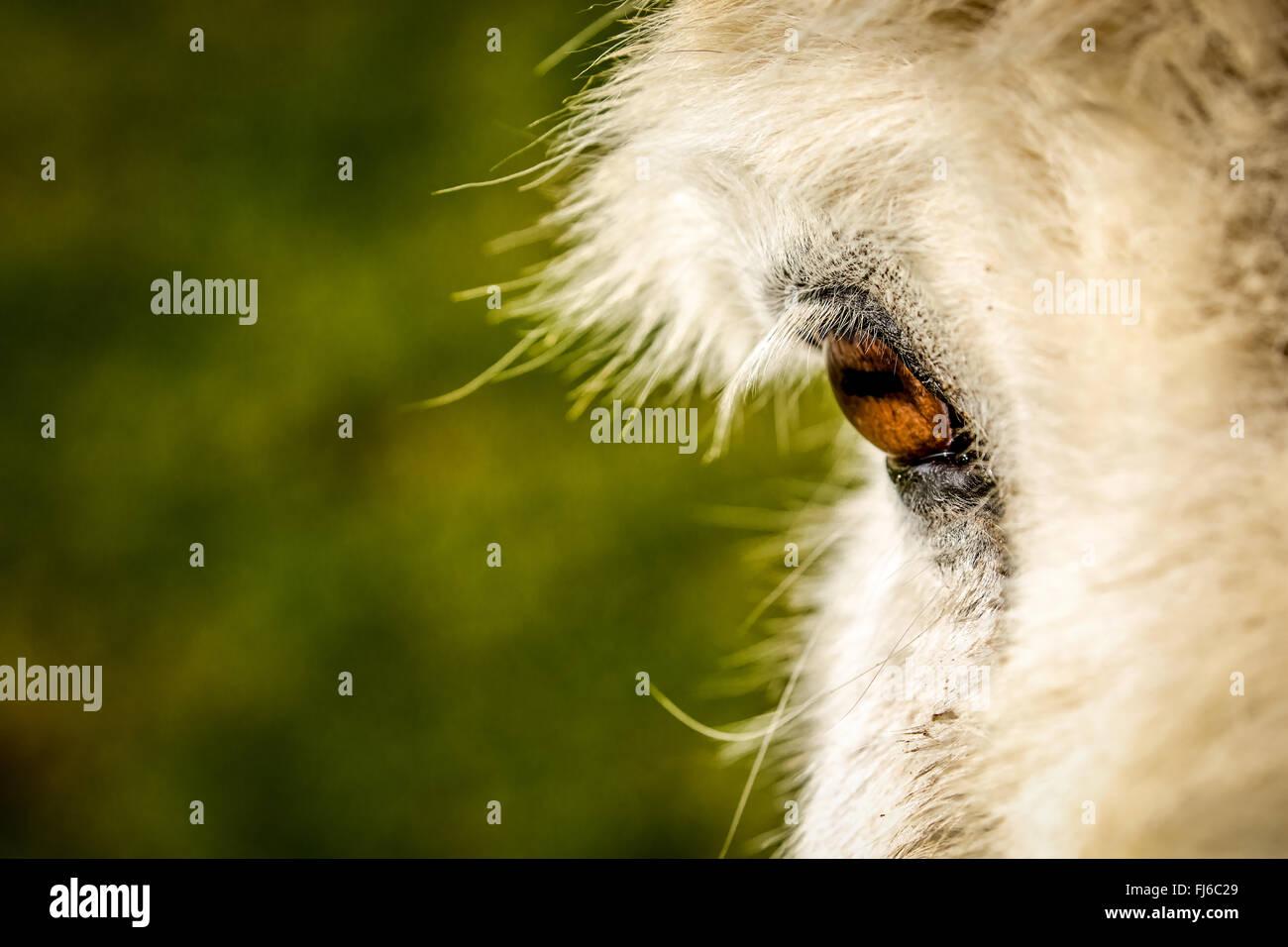 close-up of donkey's eye - Stock Image