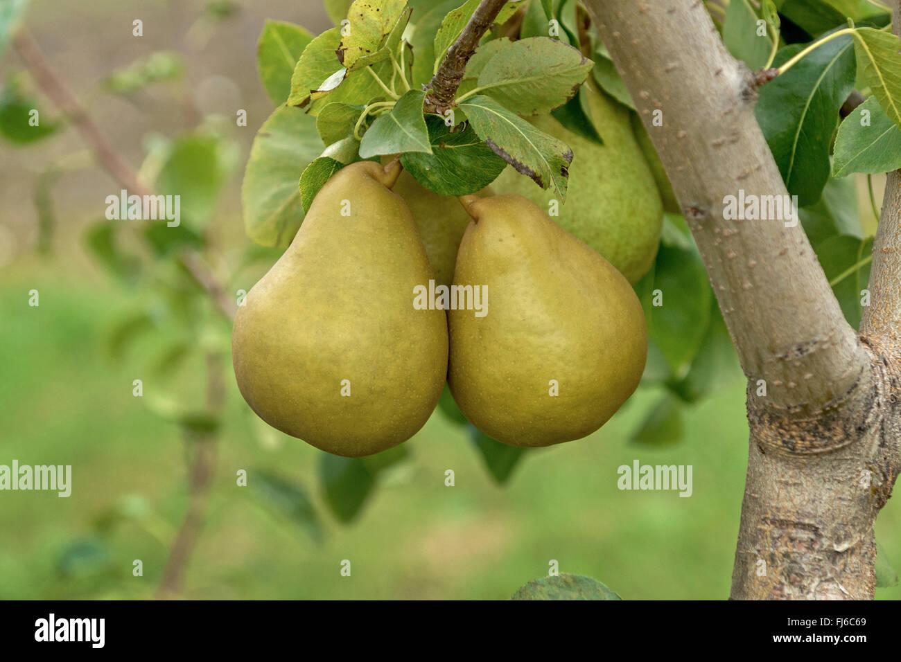 Common pear (Pyrus communis 'Grand Champion', Pyrus communis Grand Champion), pears on a tree, cultivar - Stock Image