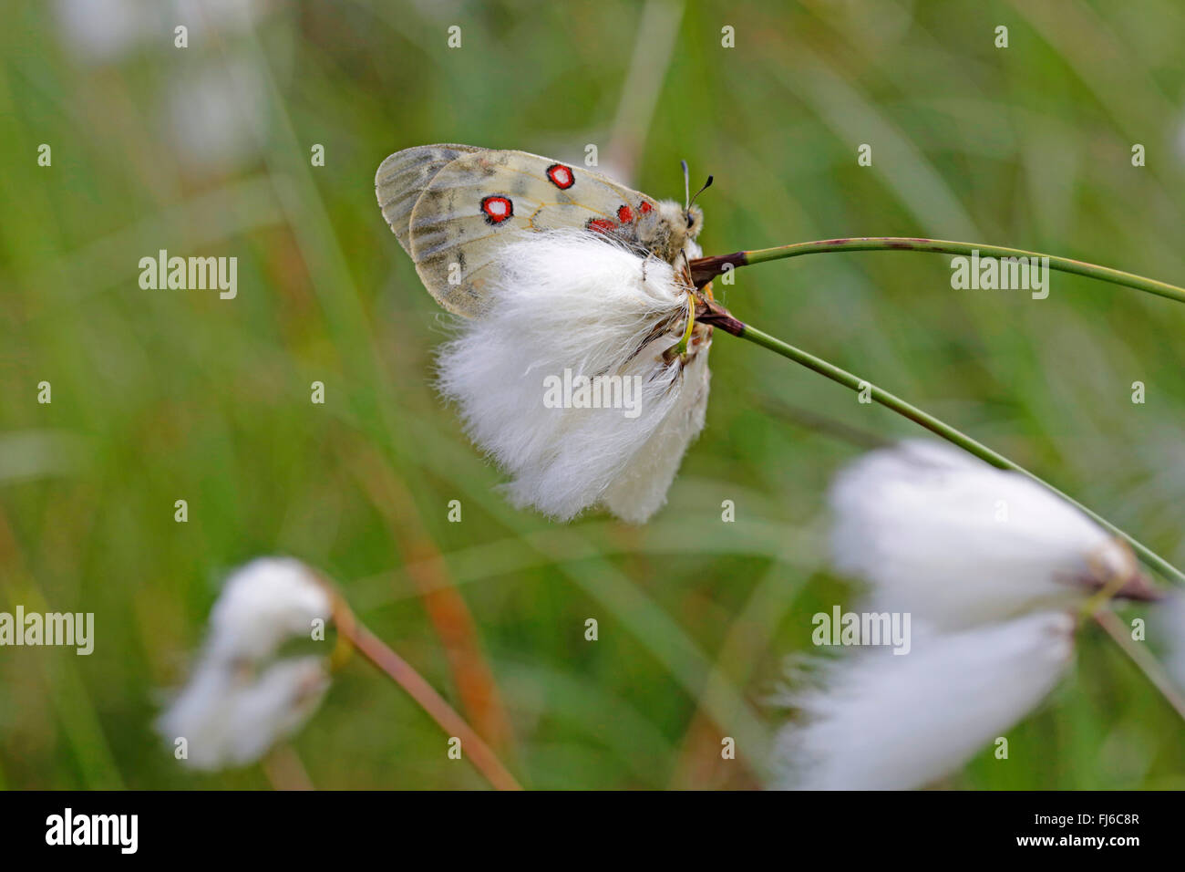 Phoebus Apollo, Small Apollo (Parnassius phoebus), sittin on cotton-grass, Austria, Tyrol - Stock Image