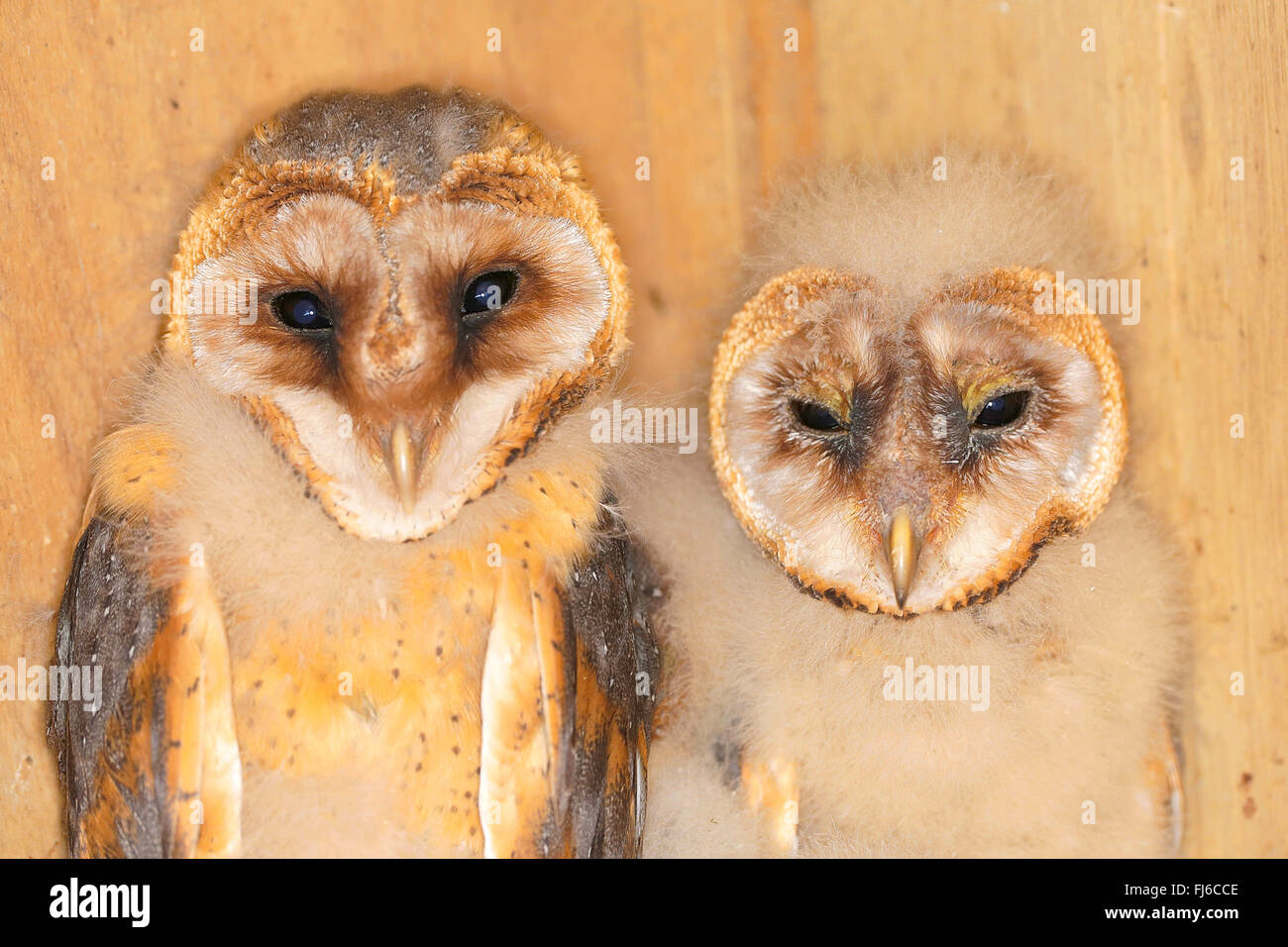 Barn owl (Tyto alba), two young birds in different ages, half-length portrait, Germany, Bavaria - Stock Image