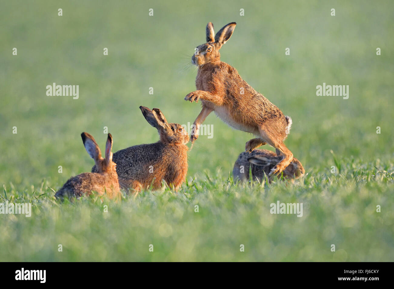 European hare, Brown hare (Lepus europaeus), males in fight during the mating season, Austria, Burgenland - Stock Image