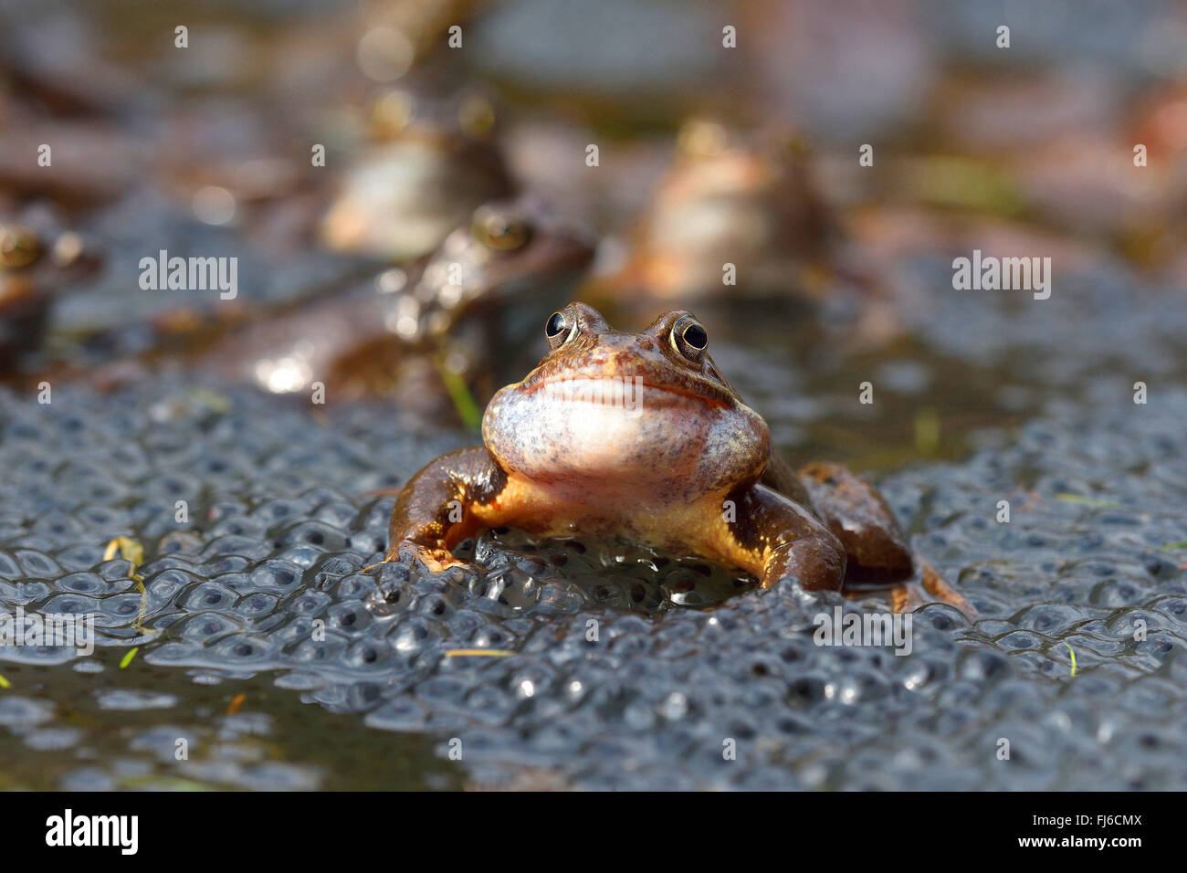 common frog, grass frog (Rana temporaria), sitting in water with eggs, Austria, Burgenland, Neusiedler See National Stock Photo