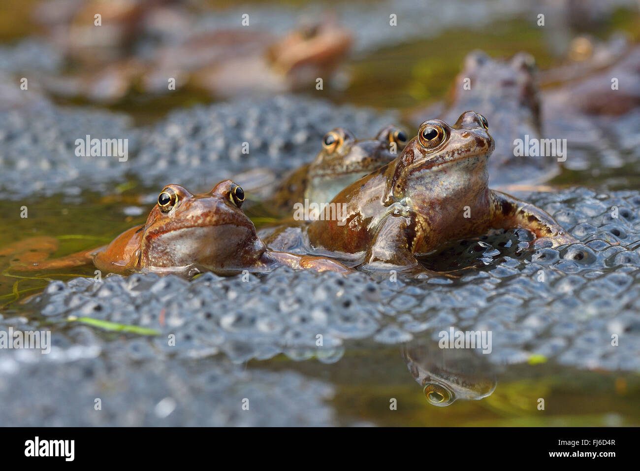 common frog, grass frog (Rana temporaria), sitting in water with eggs, Austria, Burgenland, Neusiedler See National - Stock Image