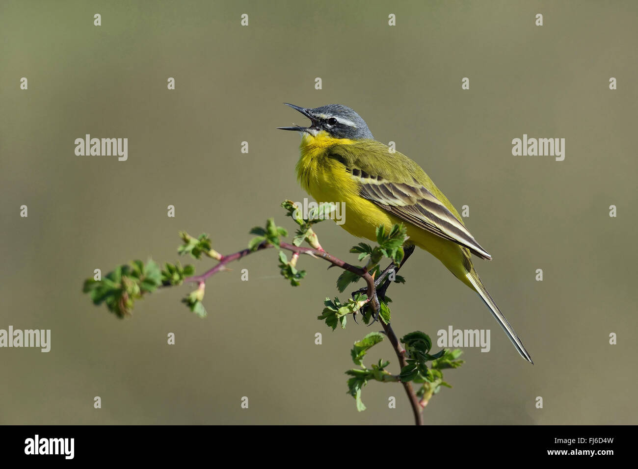 Yellow wagtail (Motacilla flava), singing on a branch, Austria - Stock Image