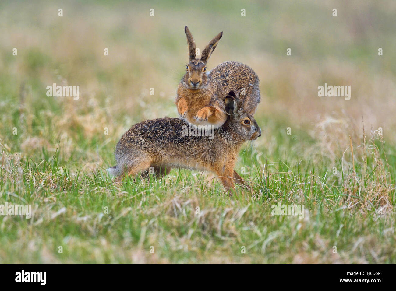European hare, Brown hare (Lepus europaeus), two males in fight during the mating season, Austria, Burgenland - Stock Image