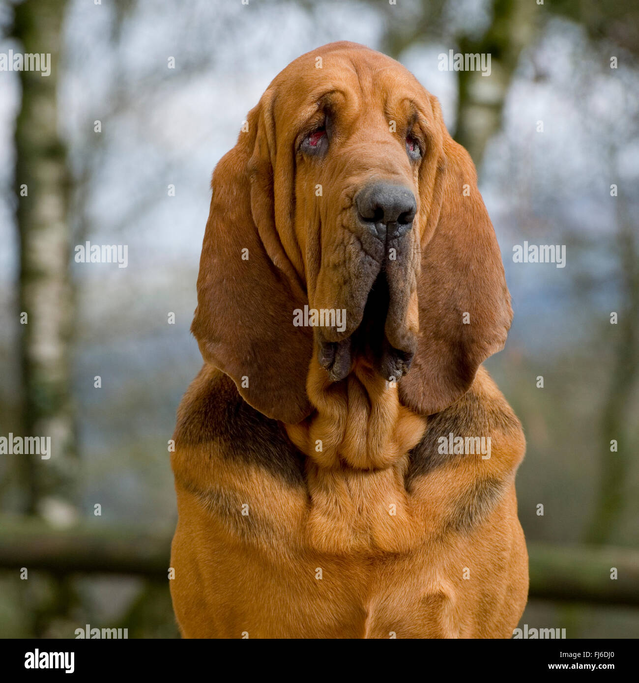 bloodhound - Stock Image