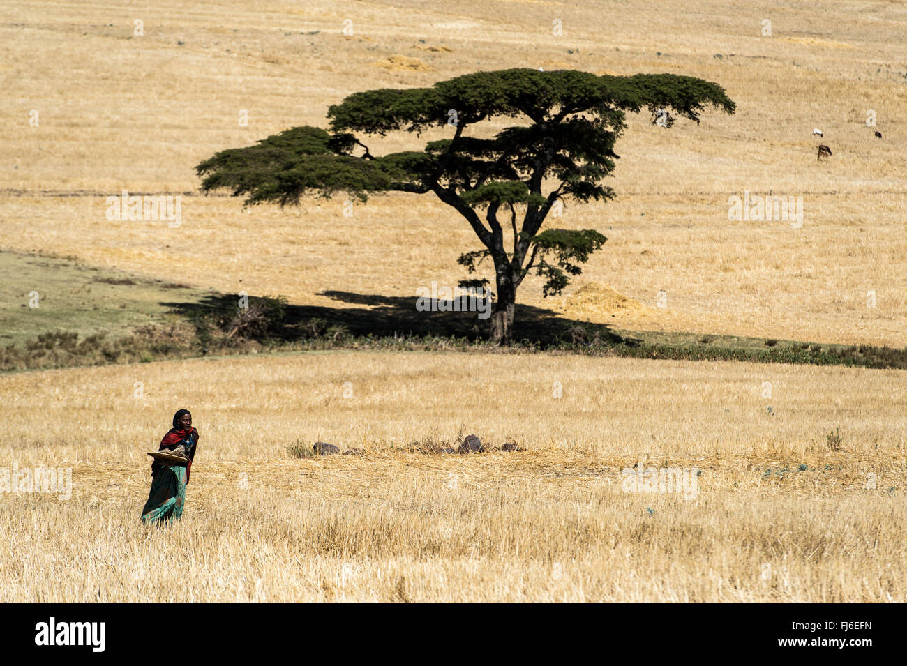 Local farmer in the fields, Ethiopia, Africa - Stock Image