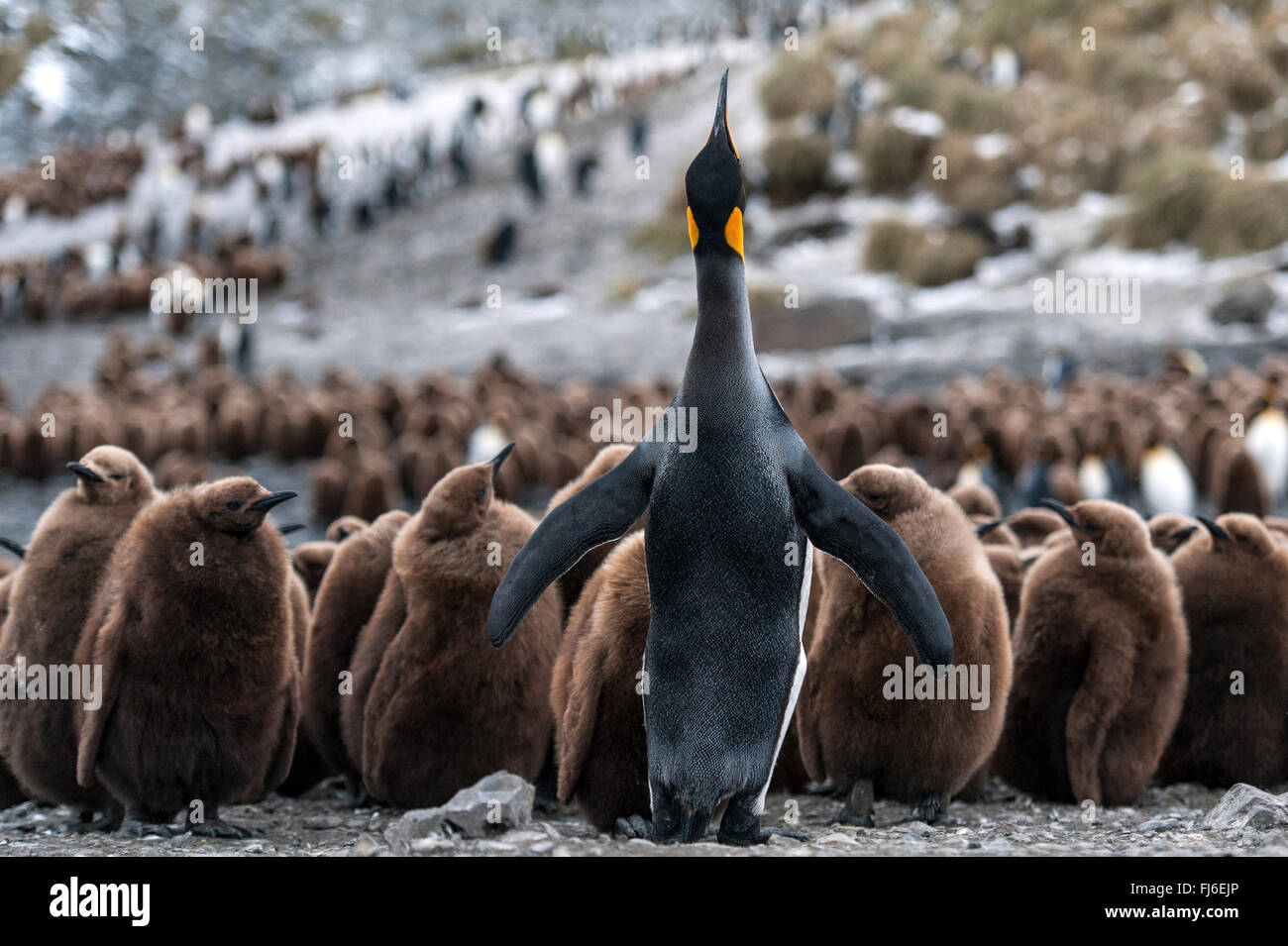 King Penguin (Aptenodytes patagonicus) adult with chicks Right Whale Bay, South Georgia - Stock Image
