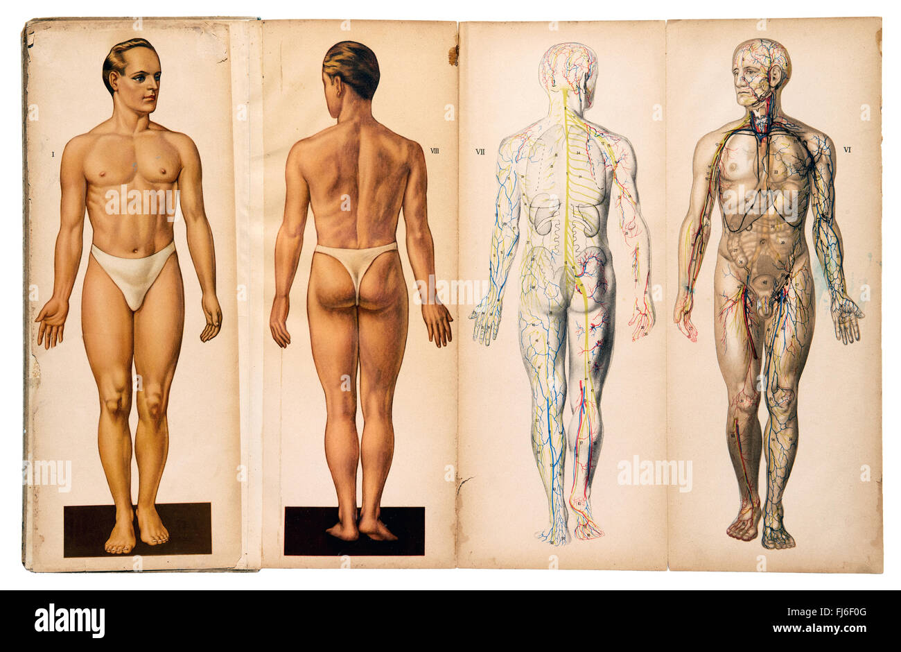 Old vintage male medical anatomy charts Stock Photo: 97259136 - Alamy