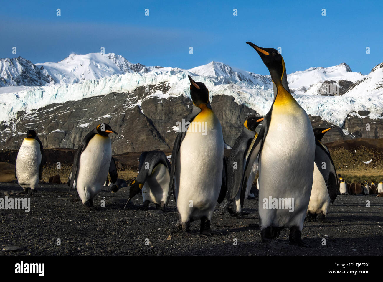 King Penguin (Aptenodytes patagonicus) adults on the beach Gold Harbour, South Georgia - Stock Image