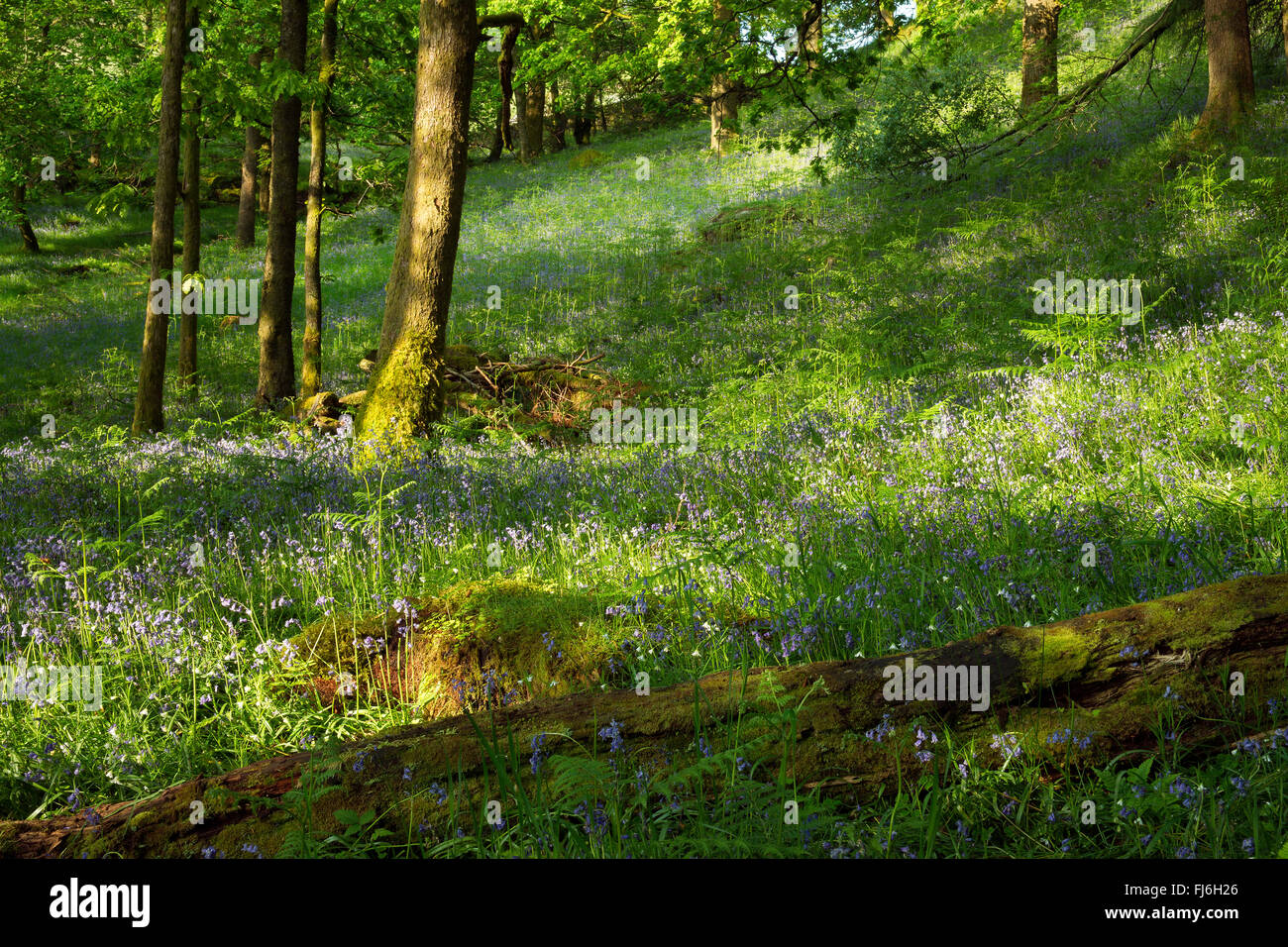 Sunlit bluebells in a woodland glade near Grasmere, Lake District, England - Stock Image