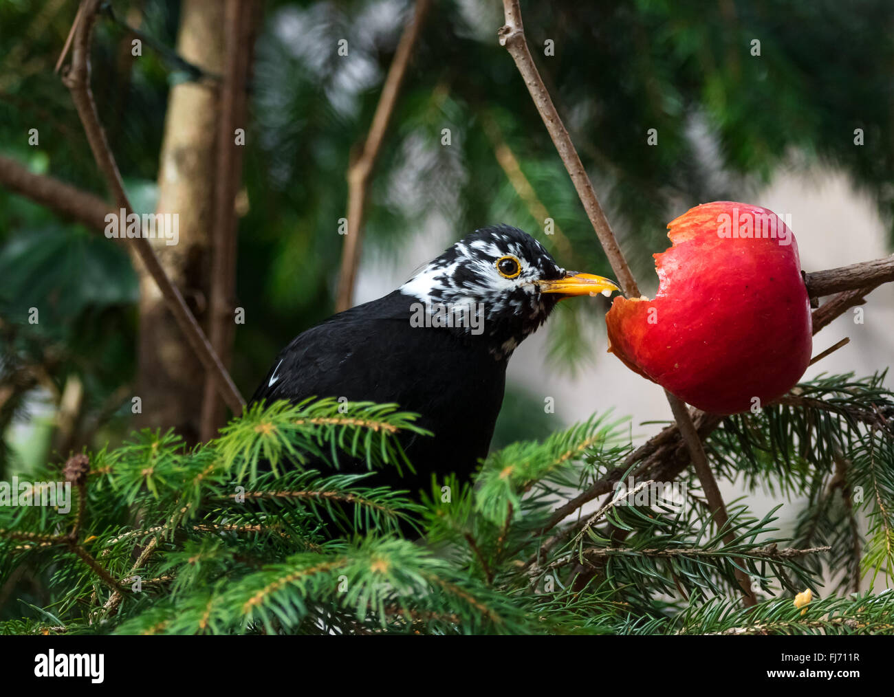 Blackbird (Turdus merula) with strange white feathers eating red apple, spotted in garden Austria, Tyrol. - Stock Image