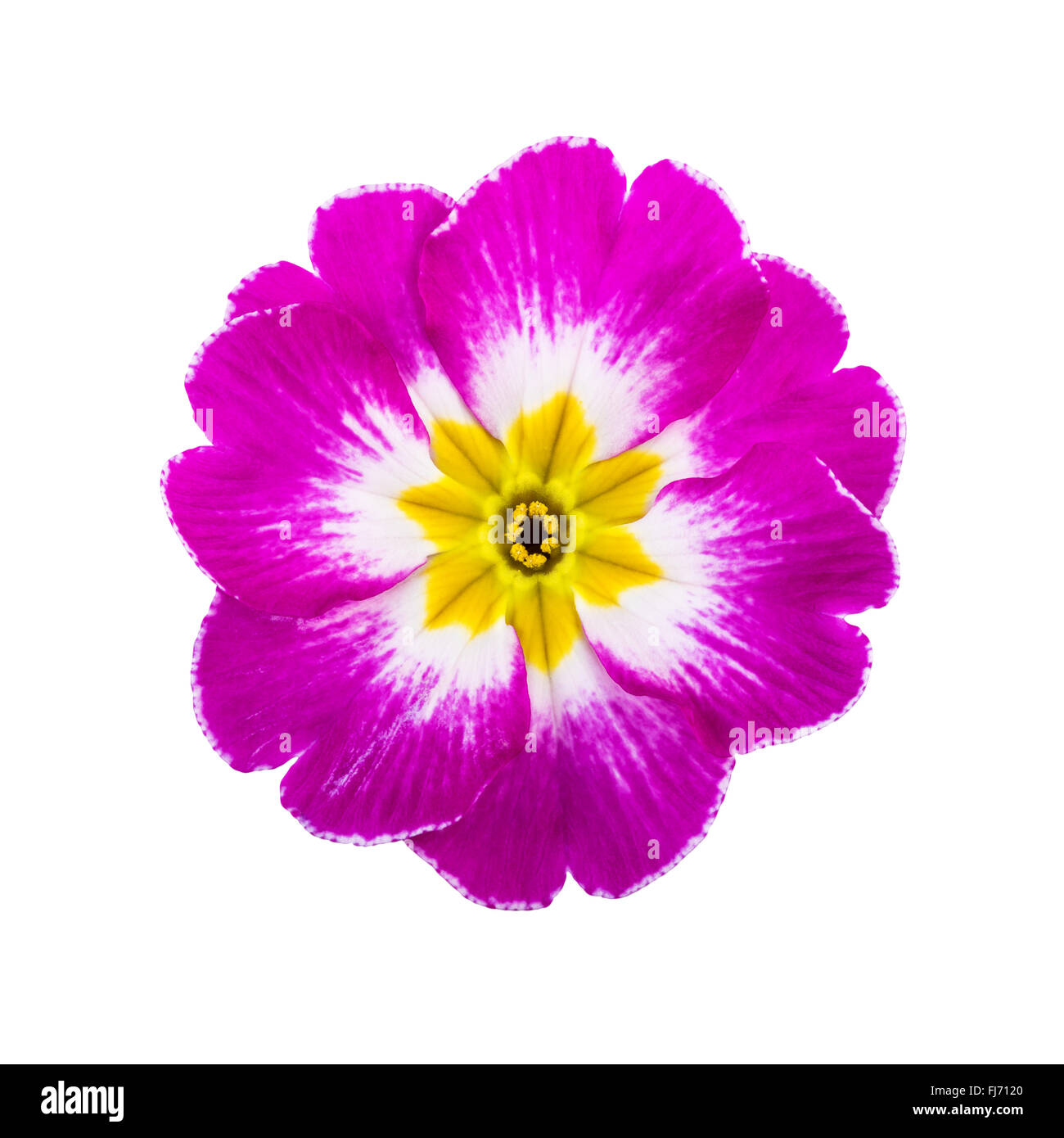 Pink Spring Flower Primrose Isolated on White - Stock Image
