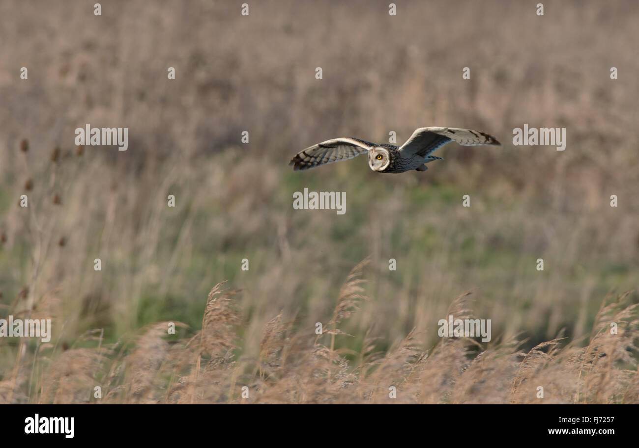 Short-eared Owl-Asio flammeus hunting. Winter. Uk - Stock Image