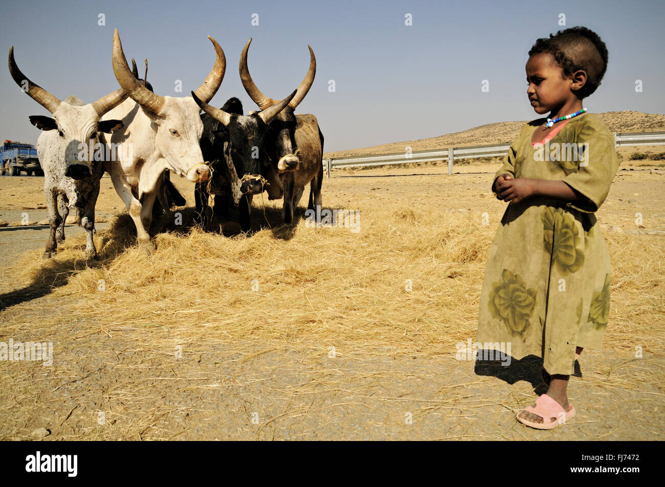 Girl with cattle threshing teff in the Tigray Region, Ethiopia Stock Photo