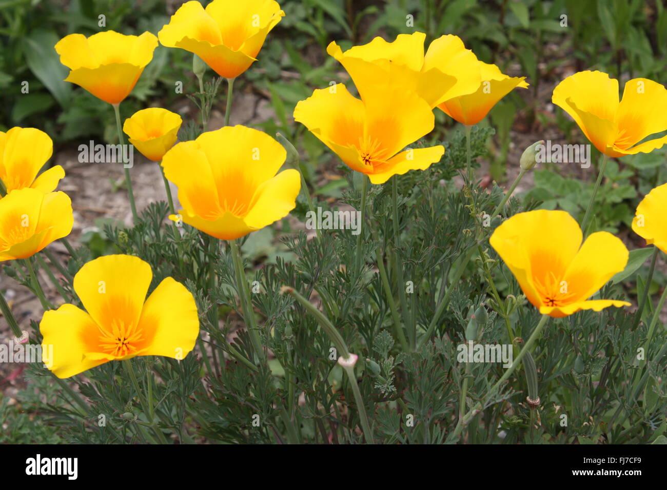 Yellow California poppy flowers Stock Photo