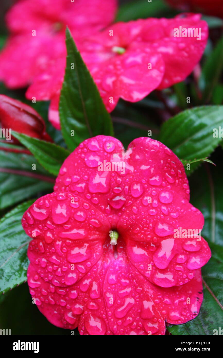 Water droplets on dark pink impatiens flowers Stock Photo