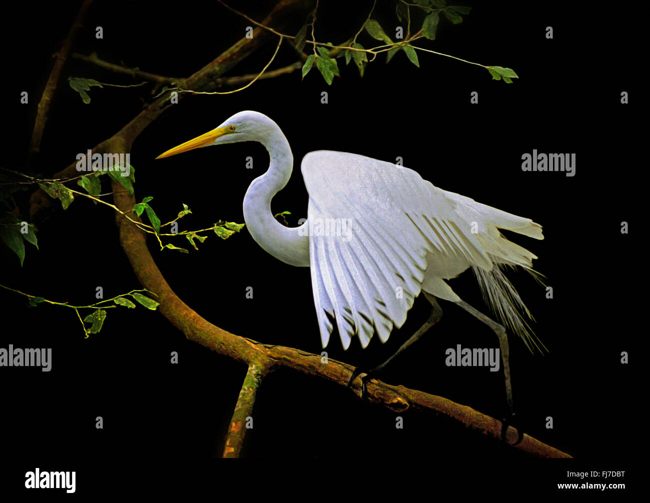 Great Egret perched in dramatic pose, Brazil South America - Stock Image