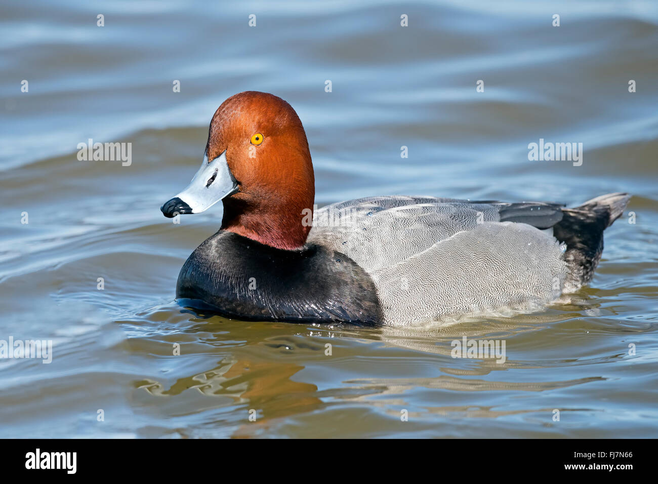 Male Redhead Duck - Stock Image