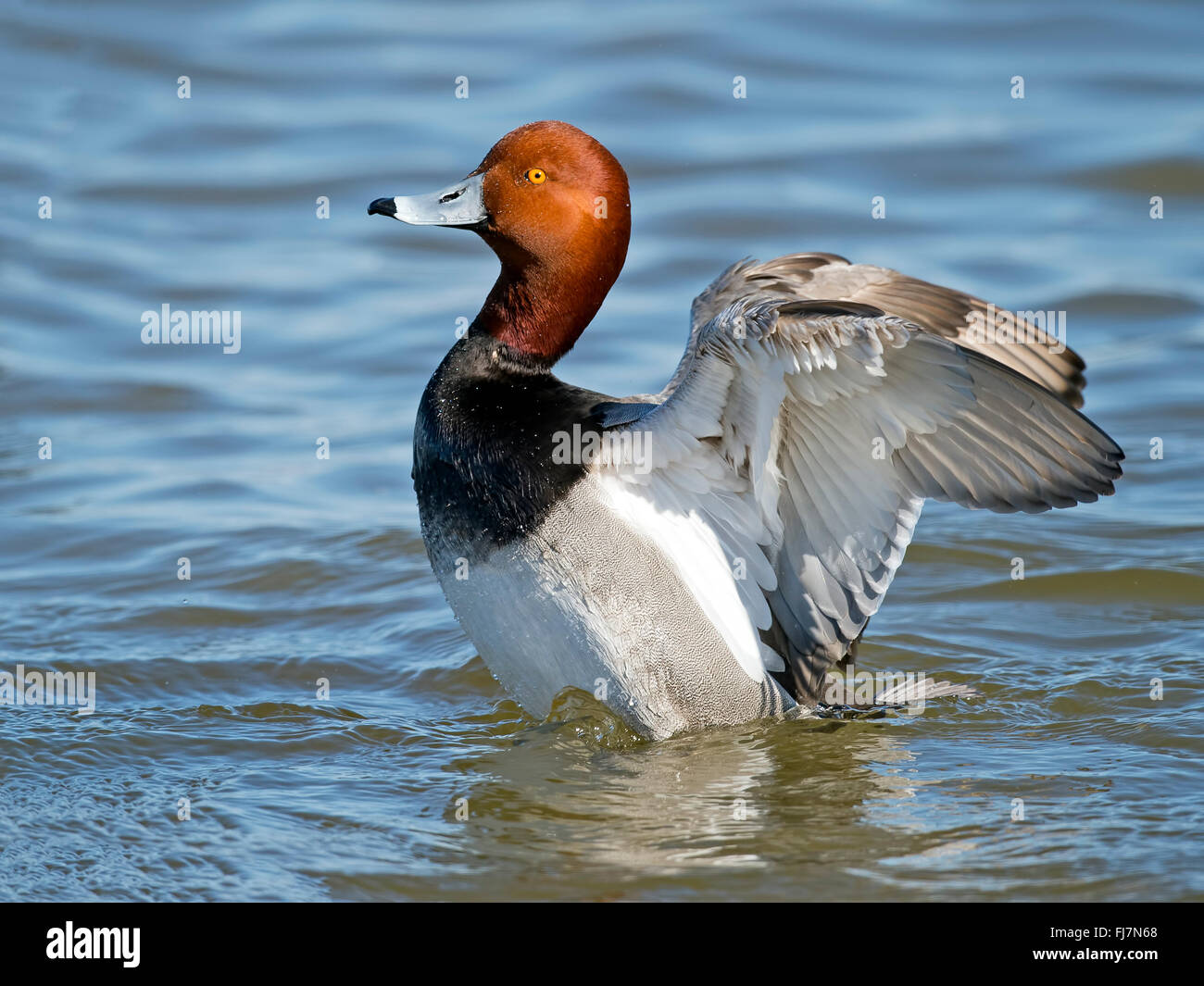 Male Redhead Duck Flapping Wings - Stock Image