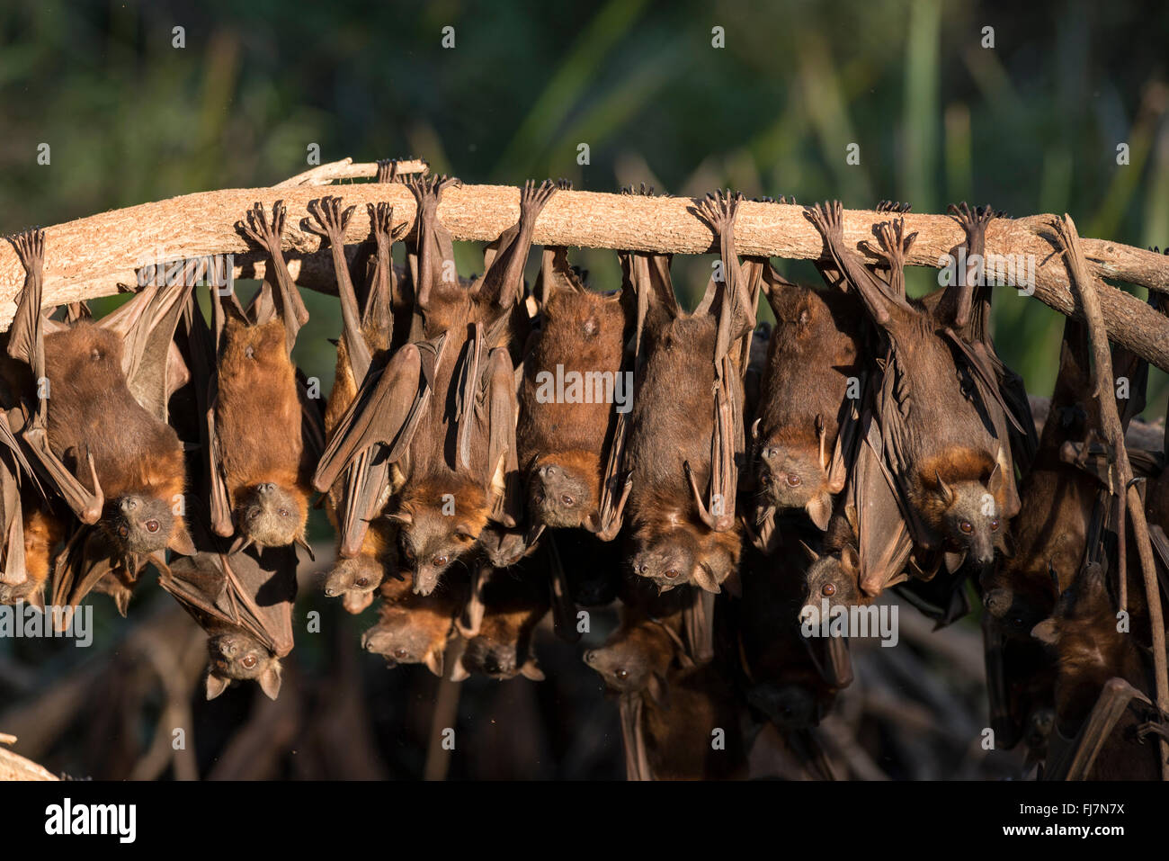 Little Red Flying-fox (Pteropus scapulatus) roosting on inland white mahogany, Eucalyptus trees and easily spooked Stock Photo