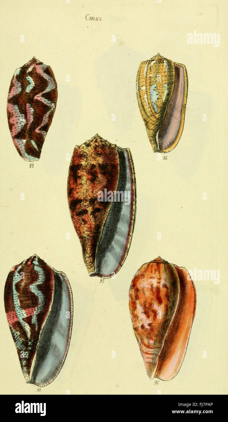 The Conchological Illustrations Or Coloured Figures Of All