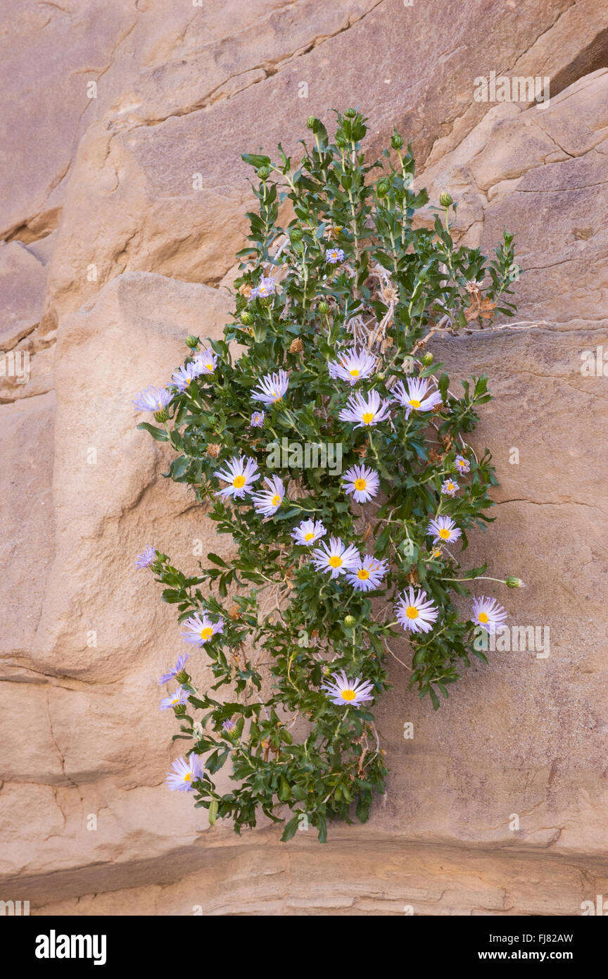 Orcutt's Woody Aster in Fish Creek Wash, Anza-Borrego Desert State Park, California. - Stock Image