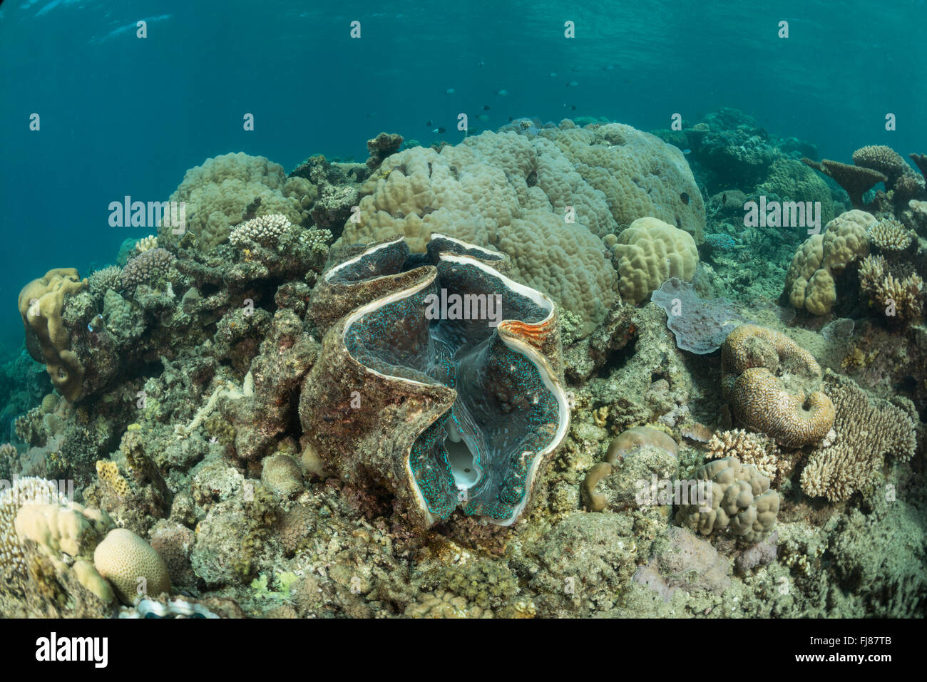 giant clam in coral reef there were very many big healthy