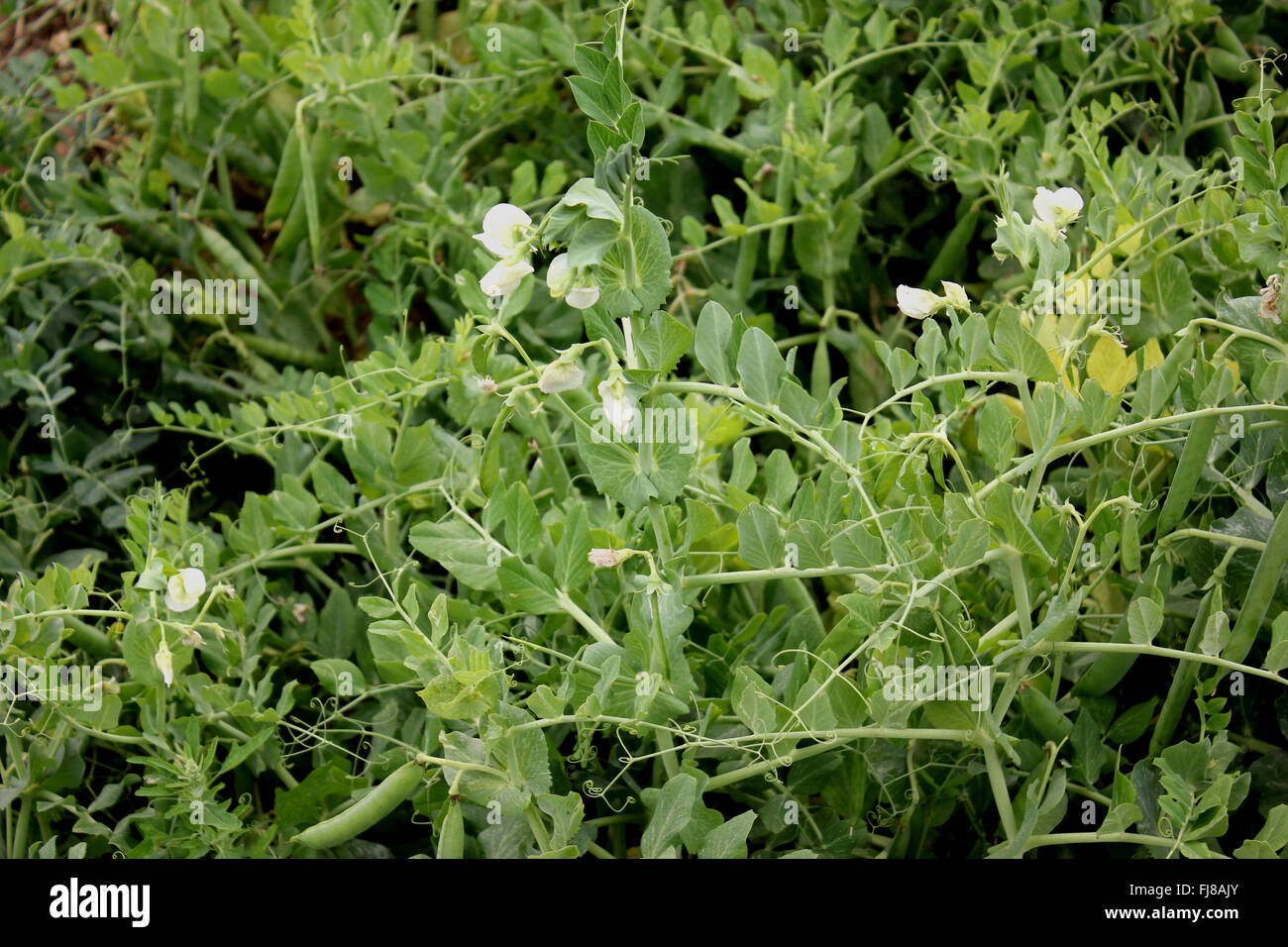 Garden Pea, Pisum sativum, herb with pinnate leaves with terminal tendrils for support, green pods with rounded - Stock Image