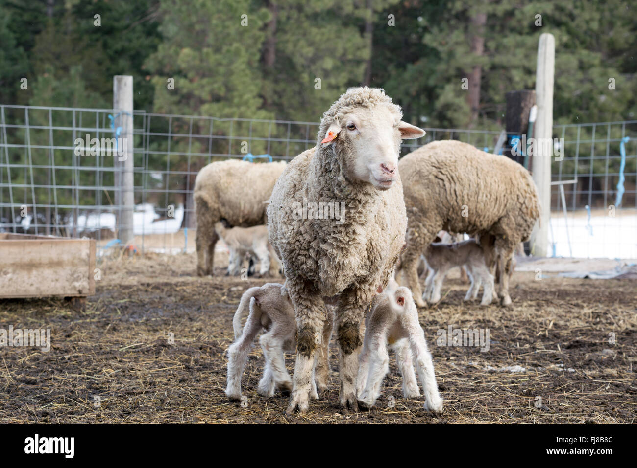 Lambs nursing from it's mother on a farm in Northeast Oregon. - Stock Image