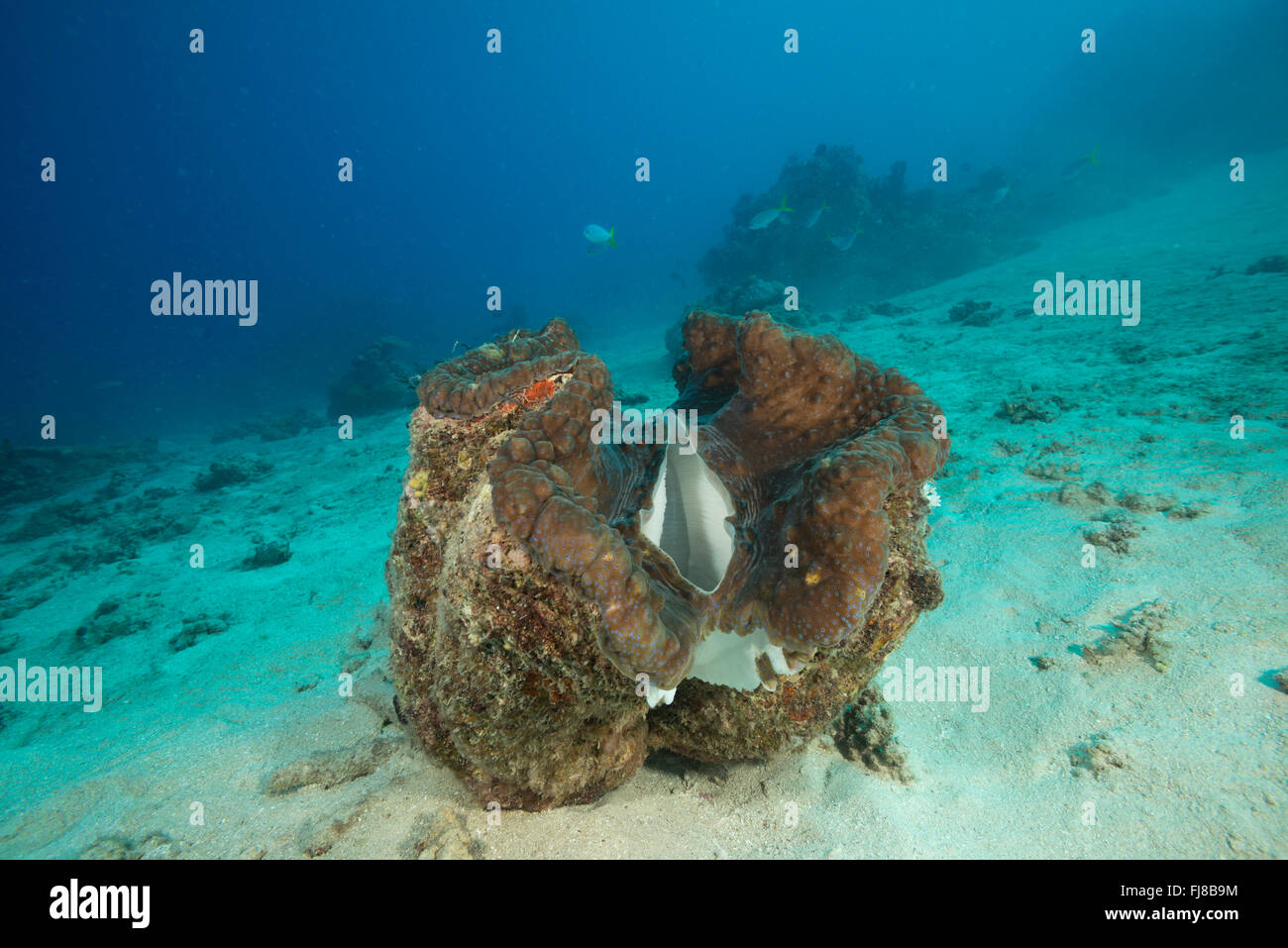 Giant clam (Tridacna gigas) in the reef.  There were very many big healthy giant clams in the surveryed reefs. Stock Photo
