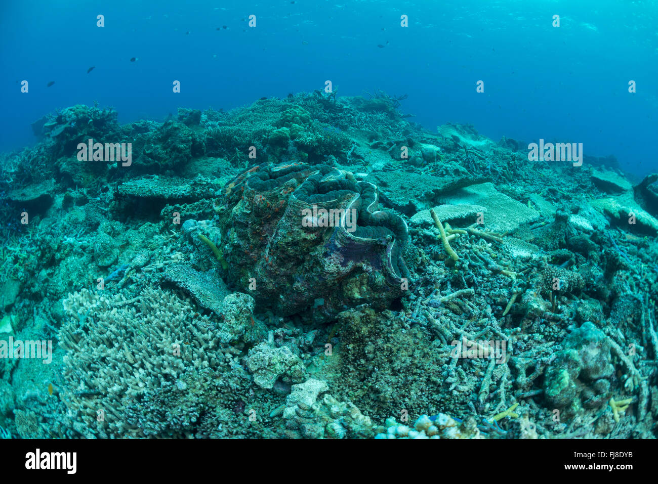 Cyclone damaged reef with living giant clam (Tridacna gigas). Stock Photo