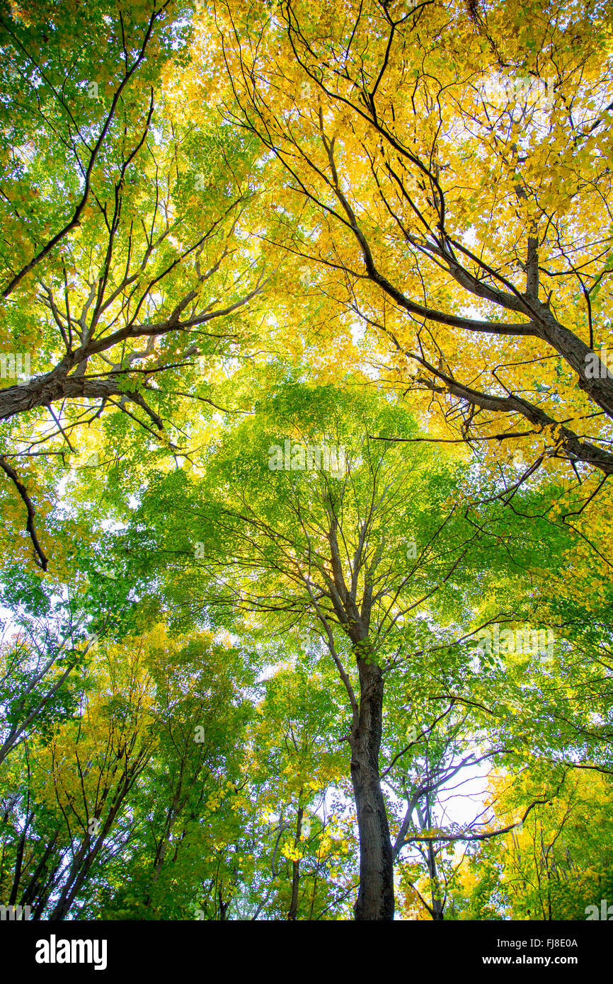 Looking upward into a group of trees - Stock Image