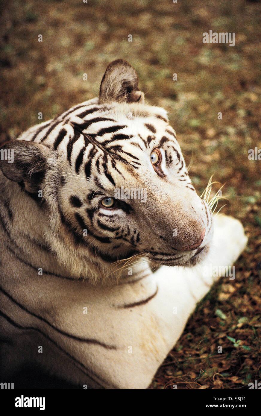 White tiger, bharatpur, rajasthan, india, asia - Stock Image