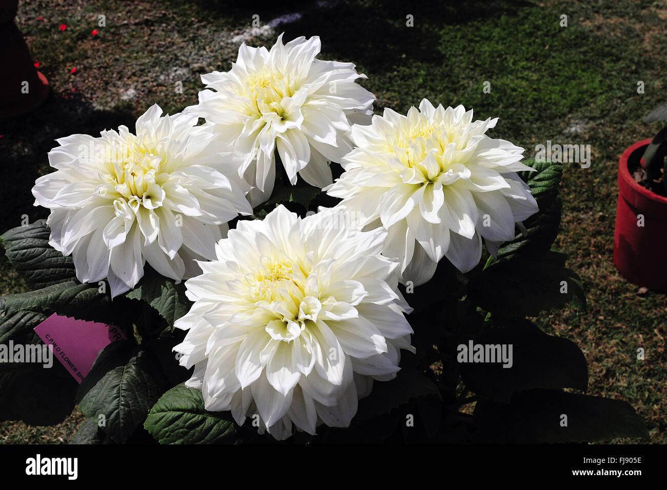 Chrysanthemum flower india stock photos chrysanthemum flower india white chrysanthemum flower india asia stock image mightylinksfo Choice Image