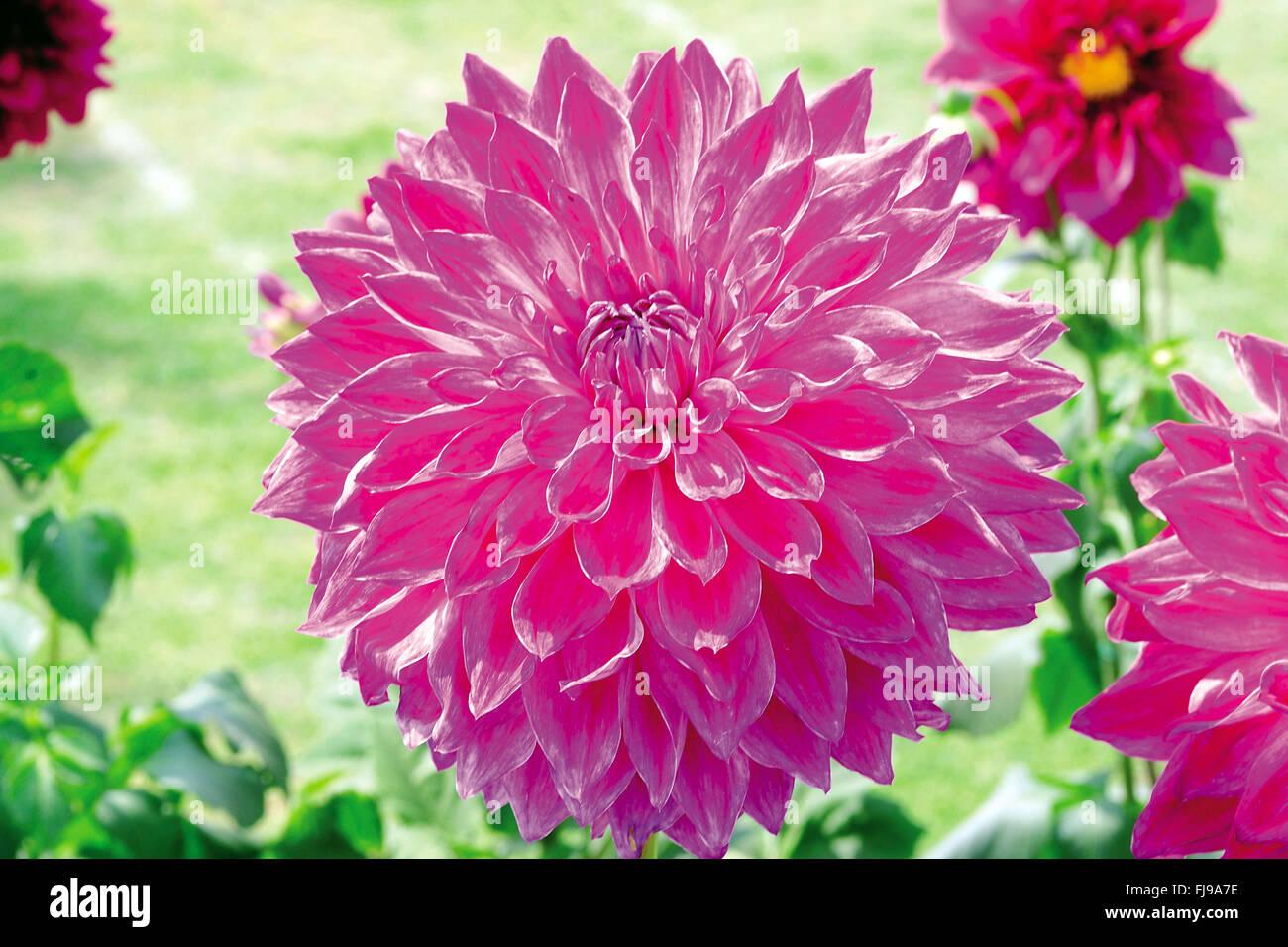 India dahlia flower stock photos india dahlia flower stock images dahlia flower india asia stock image izmirmasajfo