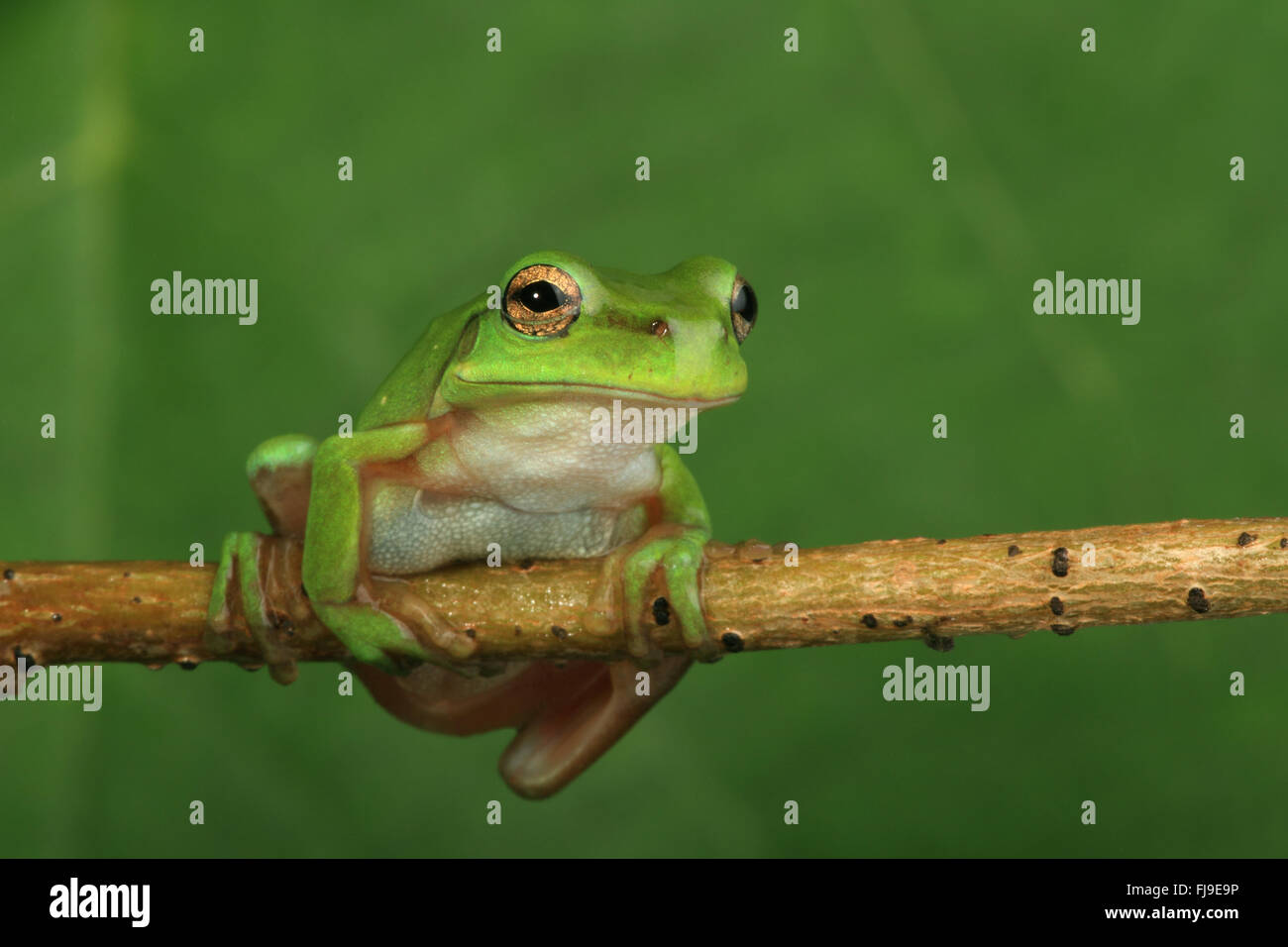 An Australian Green Tree Frog balanced on a horizontal vine with a green background - Stock Image