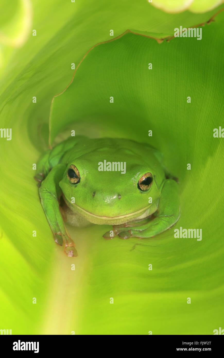 An Australian Green Tree Frog sitting inside a large broad green leaf. Stock Photo