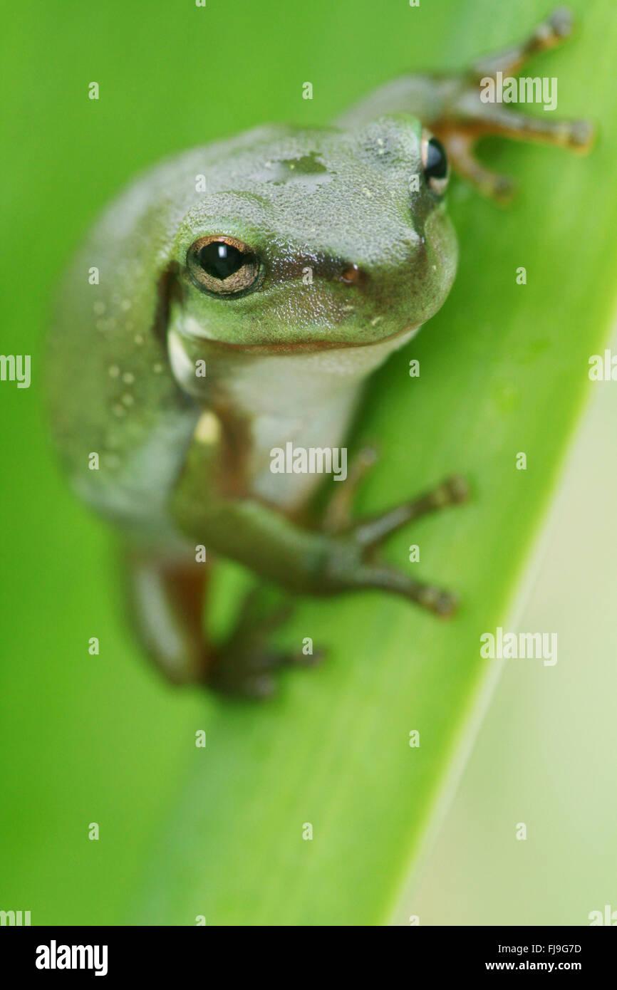 An Australian Green Tree Frog - juvenile - Litoria caerulea - sitting on a long broad green leaf. - Stock Image