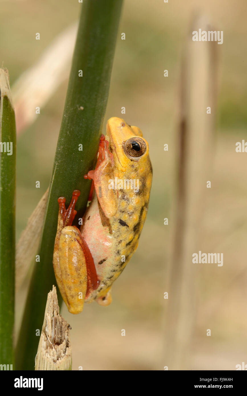 Common Reed Frog (Hyperolius viridiflavus/Hyperolius glandicolor complex) yellow and red colour variation, Mathews - Stock Image