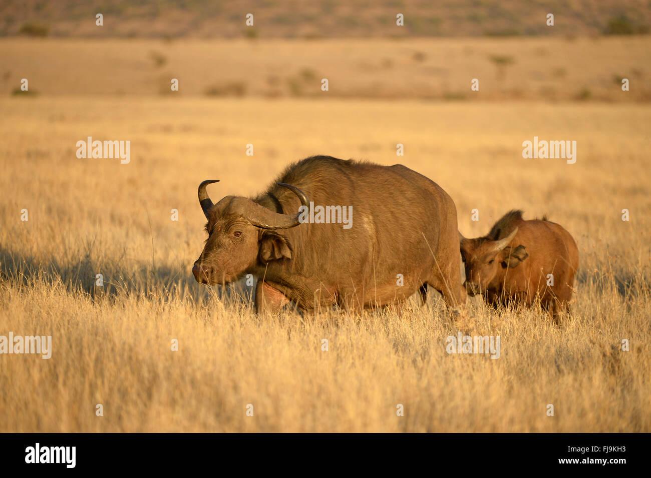 African Buffalo (Syncerus caffer) female walking through dry grassland, with calf following, Lewa Wildlife Conservancy, - Stock Image
