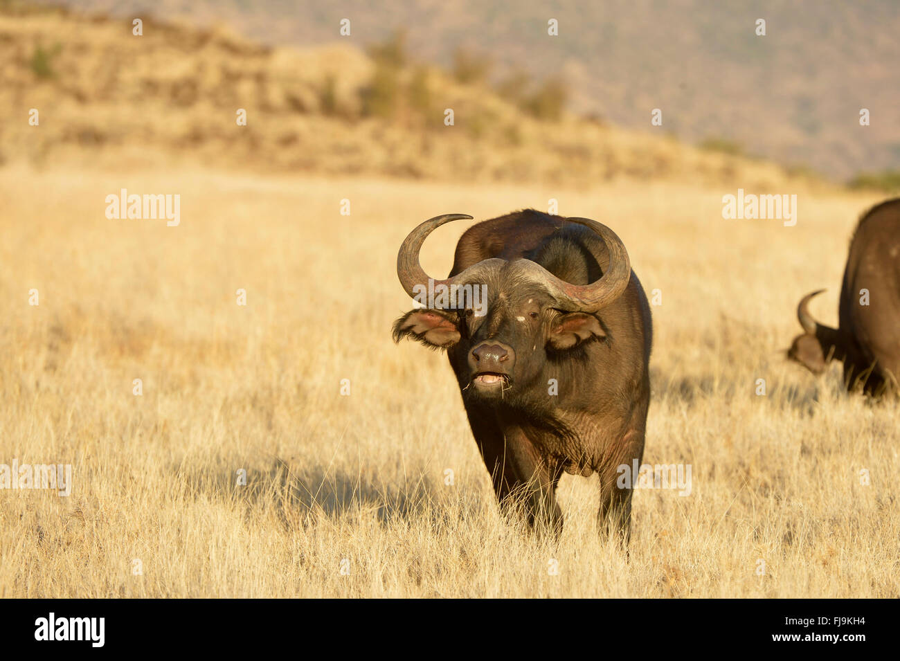 African Buffalo (Syncerus caffer) adult eating dry grass, Lewa Wildlife Conservancy, Kenya, October - Stock Image