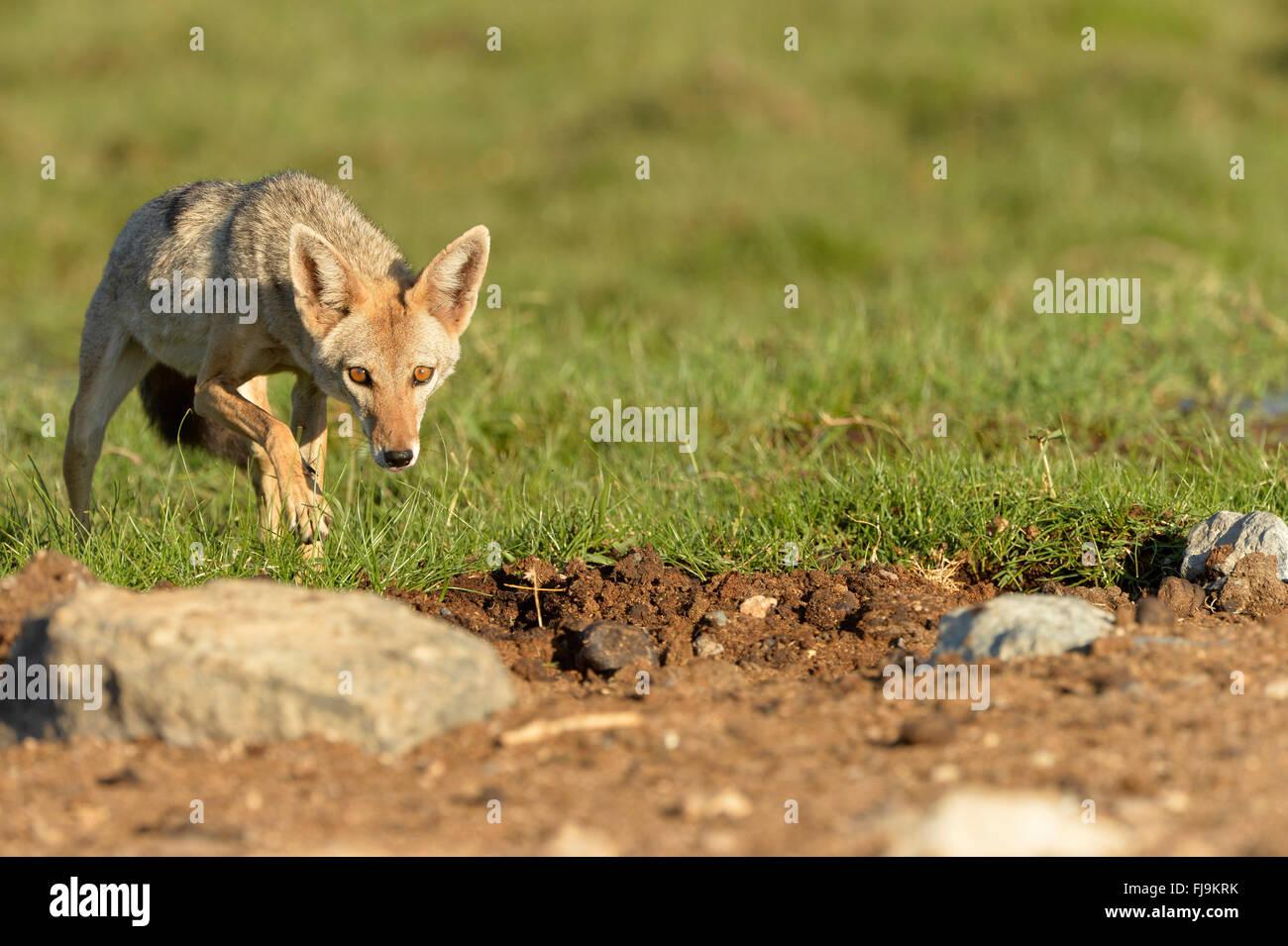 Golden Jackal (Canis aureus) adult crouched in short grass, Shaba National Reserve, Kenya, October - Stock Image