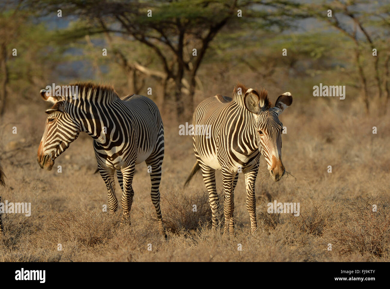 Grevy's Zebra (Equus grevyi) two standing together in dry scubland, Shaba National Reserve, Kenya, October Stock Photo
