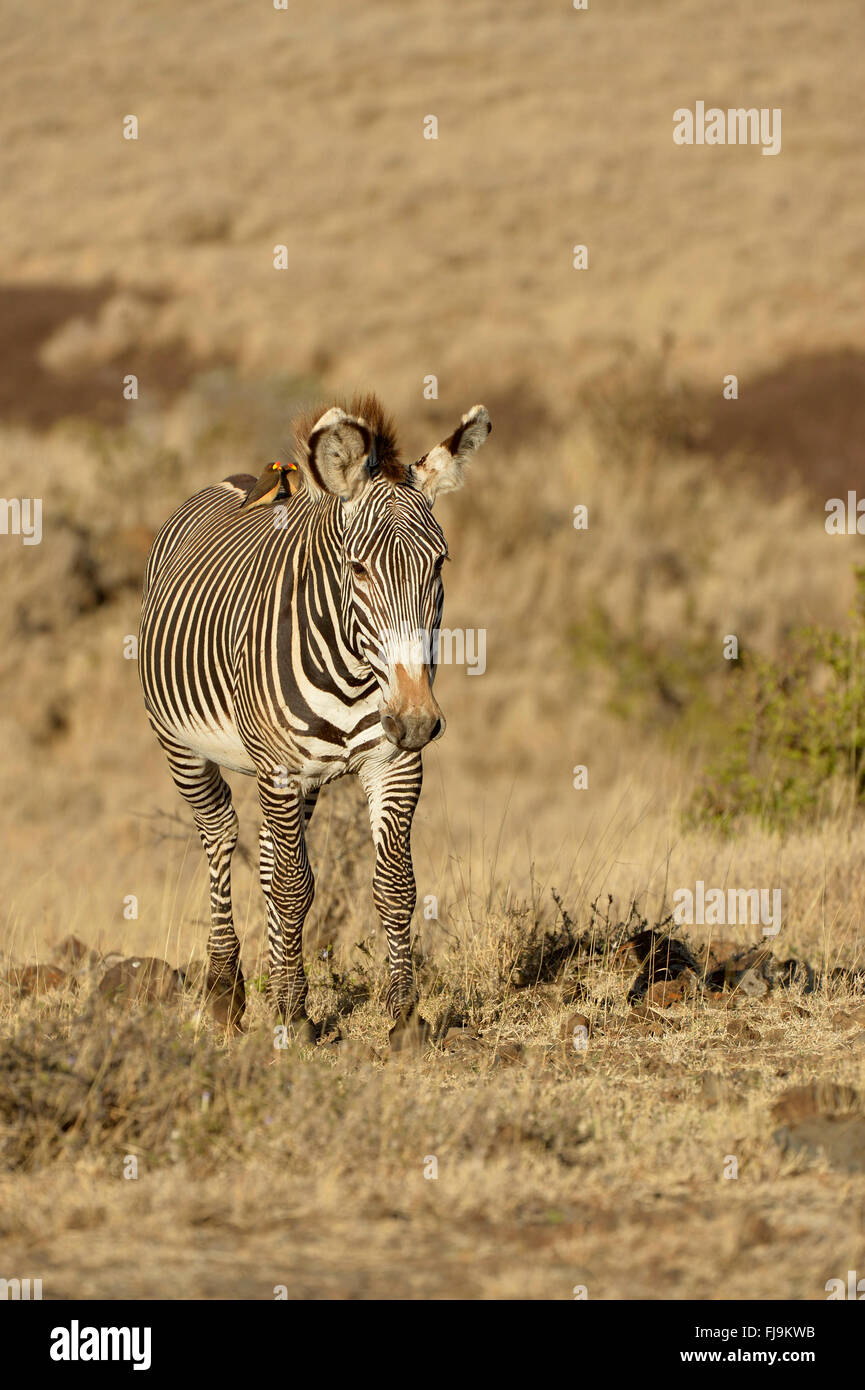 Grevy's Zebra (Equus grevyi) lone stallion walking through long dry grass, red-billed oxpeckers on back, Lewa - Stock Image